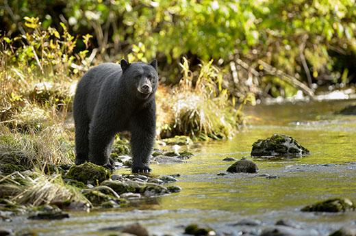 viaje-canada-este-avistamiento-osos