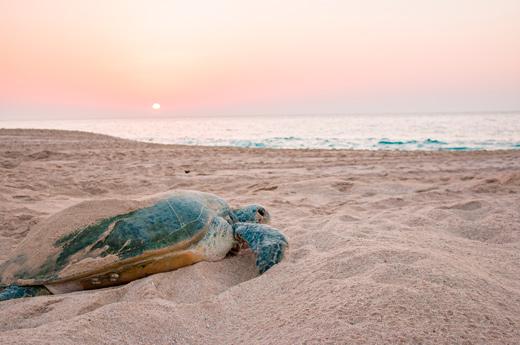 viaje-oman-tortugas-en-ras-al-jinz-dia-5